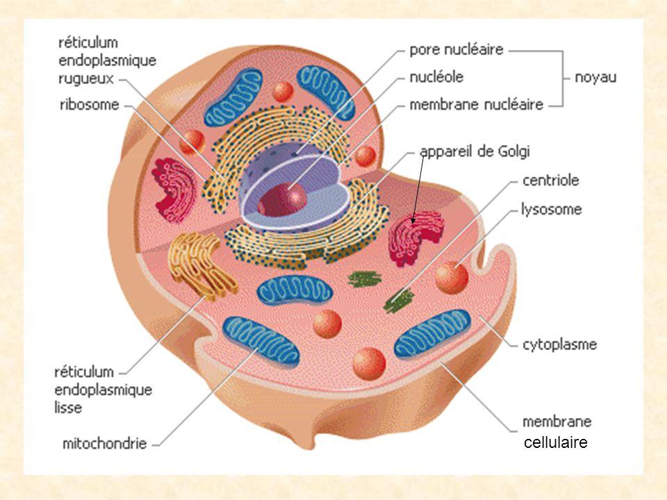 Le nucléole continet l ADN (acide désoxylonucléïque) qui est une très longue molécule contenant des milliers de gènes.