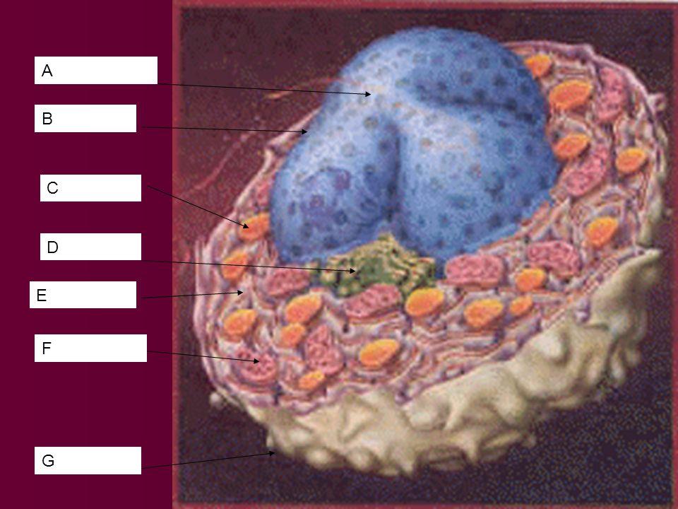 Reticulum Endoplasmique LAppareil Golgi Chromosomes (Chromatine) (sur le reticulum endoplasmique) Vesicule