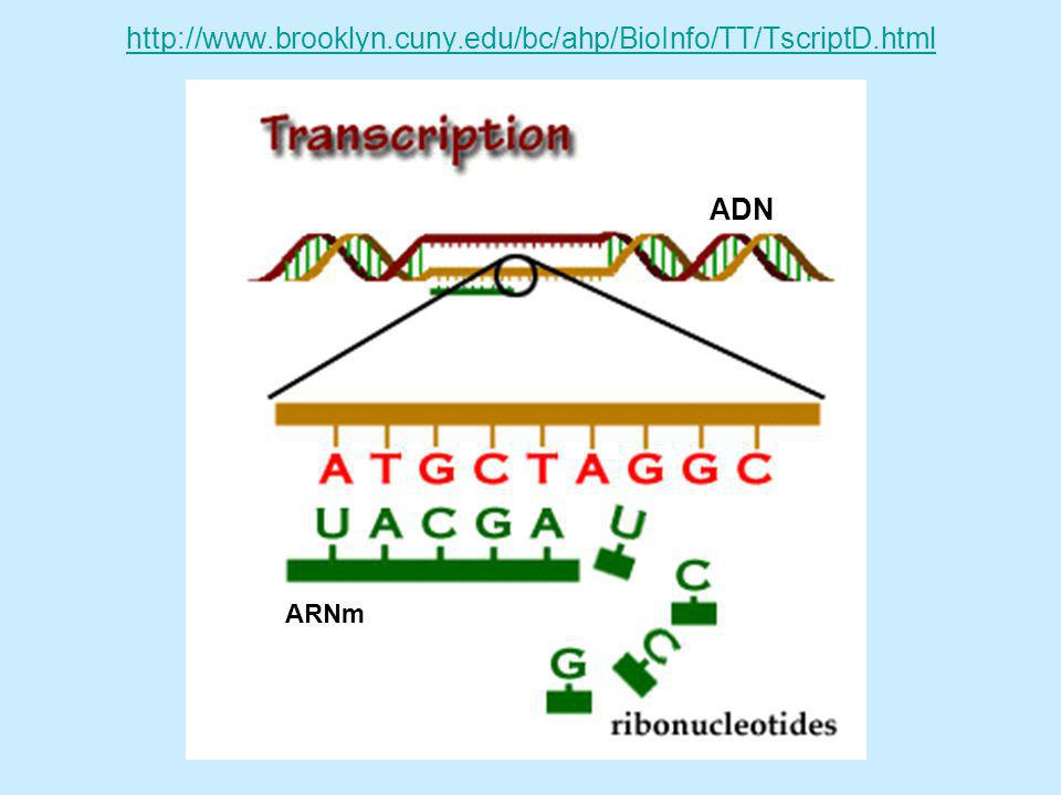http://www.brooklyn.cuny.edu/bc/ahp/BioInfo/TT/TscriptD.html ADN ARNm