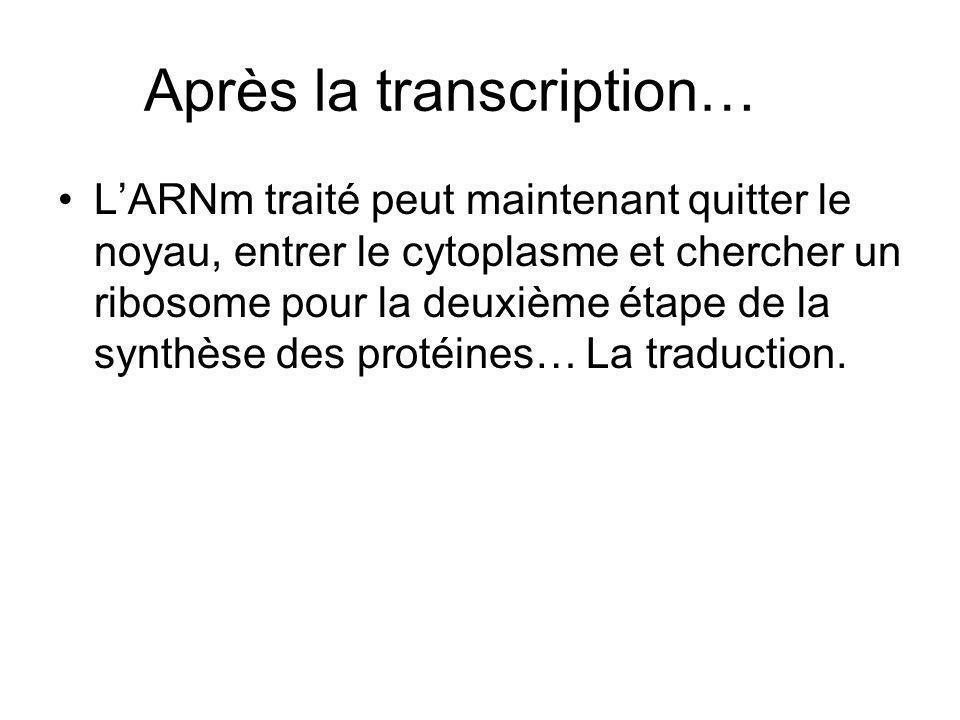 Après la transcription… LARNm traité peut maintenant quitter le noyau, entrer le cytoplasme et chercher un ribosome pour la deuxième étape de la synth