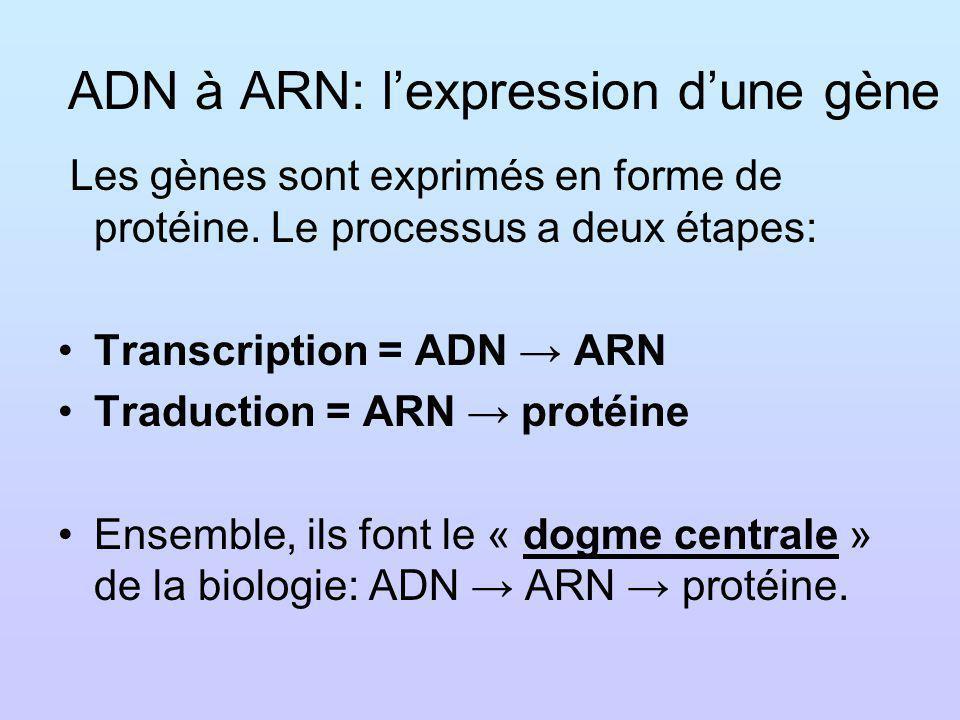 ADN à ARN: lexpression dune gène Les gènes sont exprimés en forme de protéine. Le processus a deux étapes: Transcription = ADN ARN Traduction = ARN pr