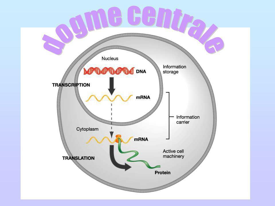 http://www.ncc.gmu.edu/dna/mRNAanim.htm Le processus de convertir linformation de lADN en protéine commence avec la synthèse des molécules dARNm qui contiennent des centaines à des milliers de nucléotides (dépendant de la taille de la protéine formée).