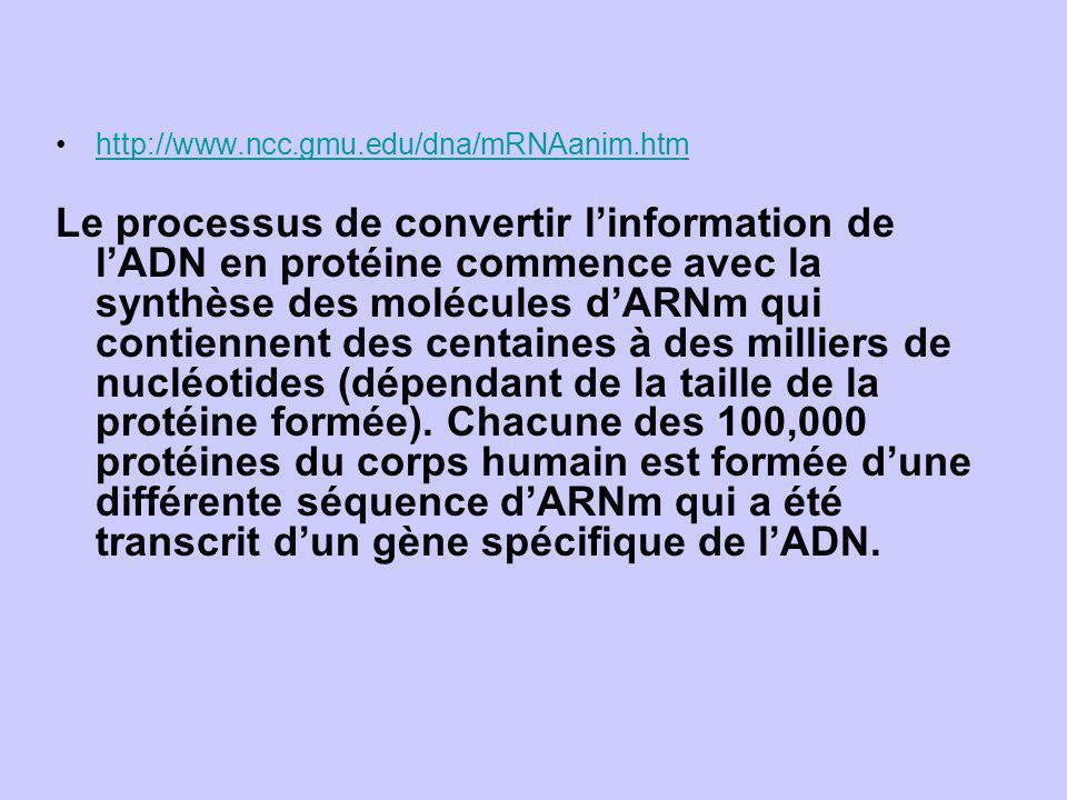 http://www.ncc.gmu.edu/dna/mRNAanim.htm Le processus de convertir linformation de lADN en protéine commence avec la synthèse des molécules dARNm qui c
