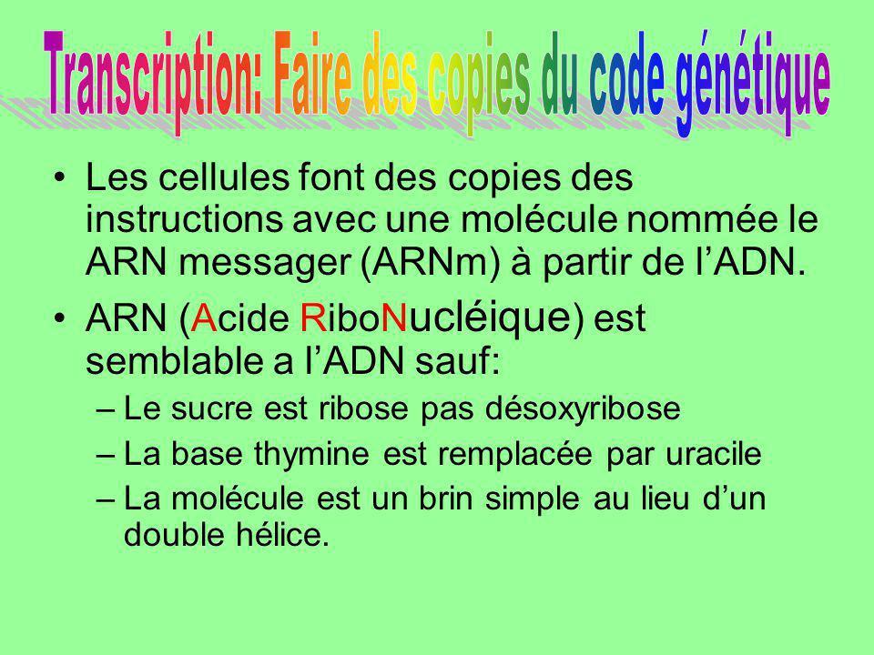Les cellules font des copies des instructions avec une molécule nommée le ARN messager (ARNm) à partir de lADN. ARN (Acide RiboN ucléique ) est sembla