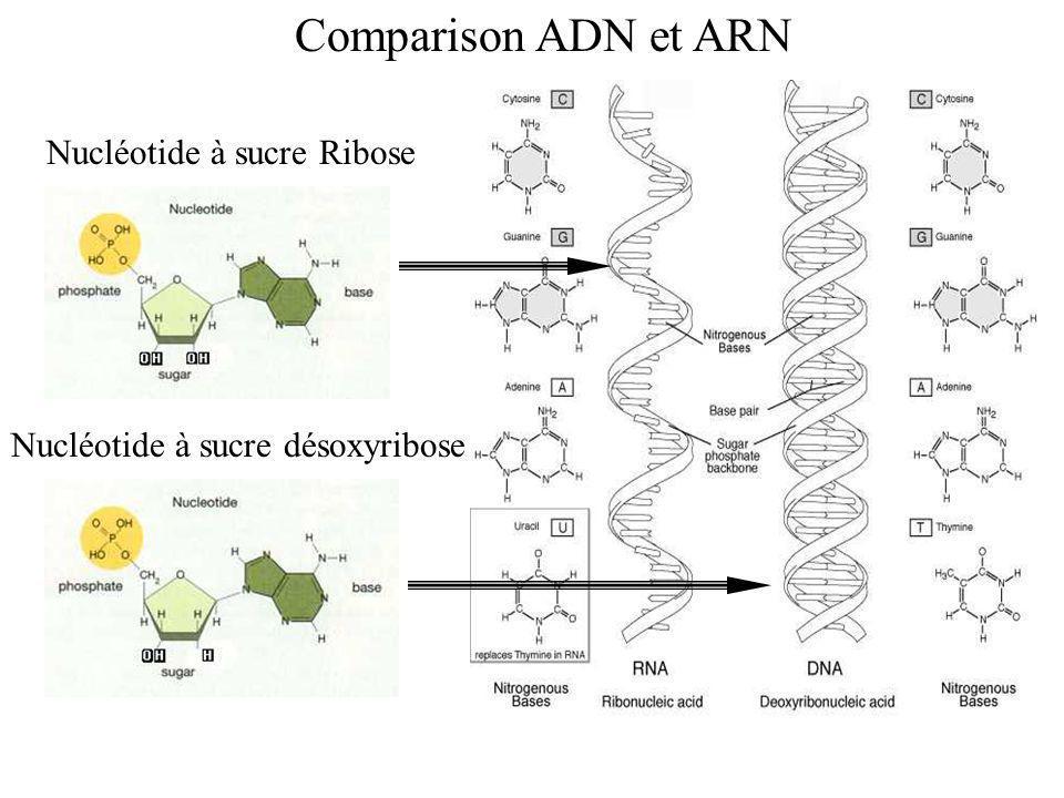 introns exonsLes introns sont les sections non- codantes de lADN et les exons sont les sections codantes ou exprimées (qui sont le message) SpliceosomesSpliceosomes (enzymes) enlèvent les introns du ARNm Le brin résultant de ARNm code pour un protéine.