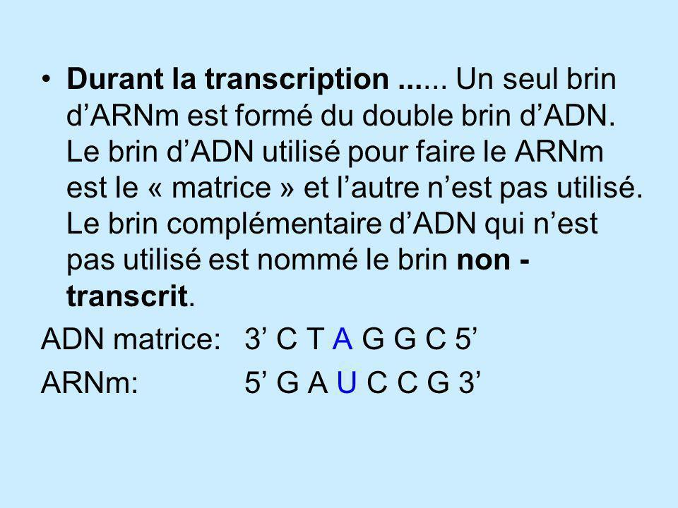 Durant la transcription...... Un seul brin dARNm est formé du double brin dADN. Le brin dADN utilisé pour faire le ARNm est le « matrice » et lautre n