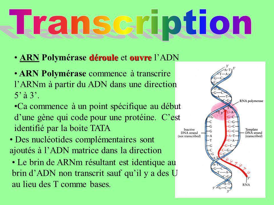 dérouleouvre ARN Polymérase déroule et ouvre lADN Des nucléotides complémentaires sont ajoutés à lADN matrice dans la direction ARN Polymérase commenc