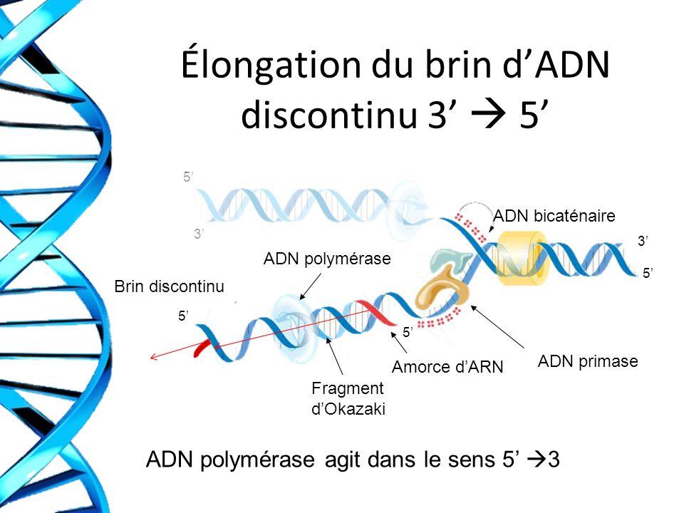 Élongation du brin dADN discontinu 3 5 ADN polymérase agit dans le sens 5 3 3 3 5 5 5 5 ADN primase ADN bicaténaire Amorce dARN ADN polymérase Brin di