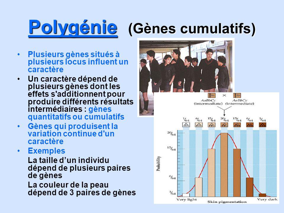 Polygénie (Gènes cumulatifs) Plusieurs gènes situés à plusieurs locus influent un caractère Un caractère dépend de plusieurs gènes dont les effets s'a
