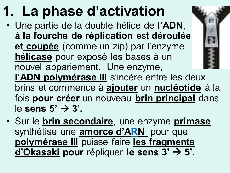 1. La phase dactivation Une partie de la double hélice de lADN, à la fourche de réplication est déroulée et coupée (comme un zip) par lenzyme hélicase