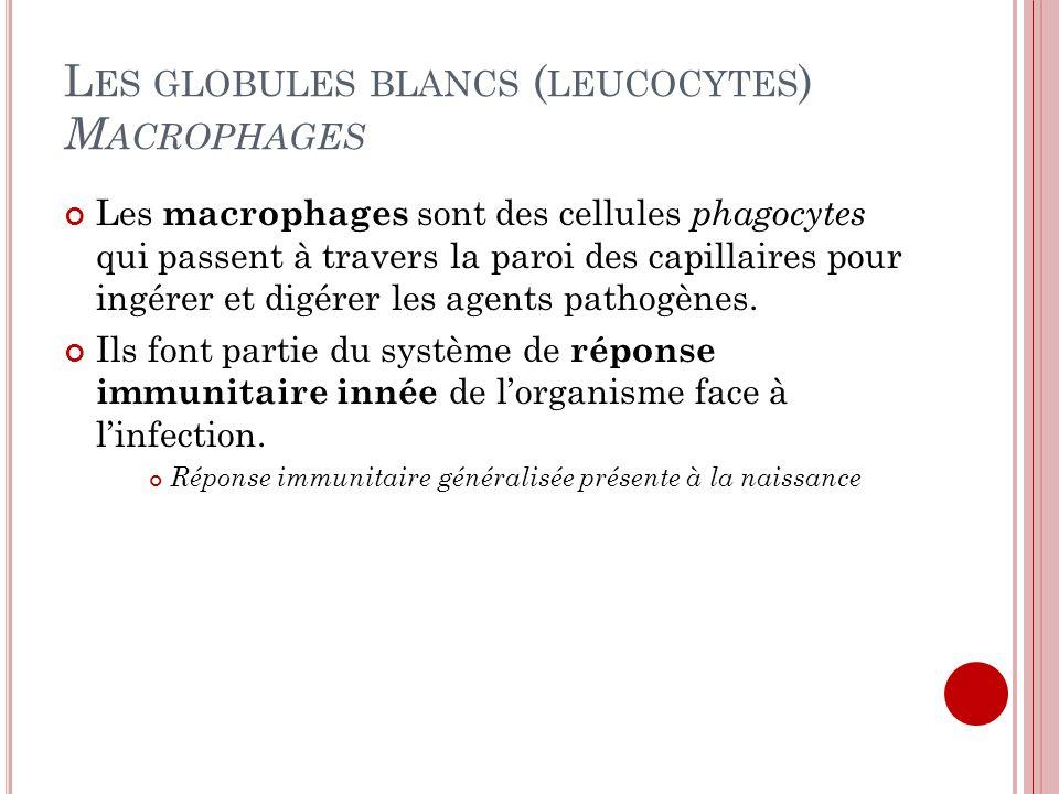 L ES GLOBULES BLANCS ( LEUCOCYTES ) M ACROPHAGES Les macrophages sont des cellules phagocytes qui passent à travers la paroi des capillaires pour ingé