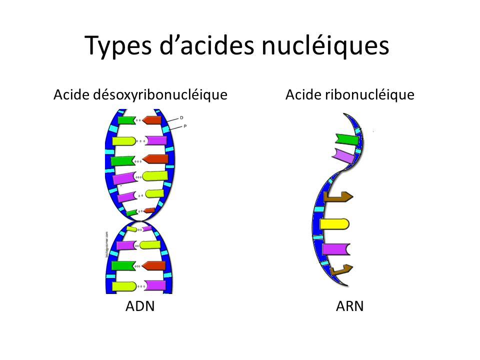 Types dacides nucléiques Acide désoxyribonucléique ADN Acide ribonucléique ARN