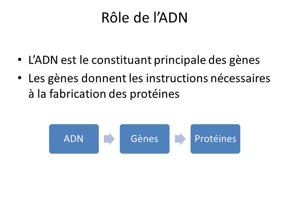 Rôle de lADN LADN est le constituant principale des gènes Les gènes donnent les instructions nécessaires à la fabrication des protéines ADNGènesProtéi