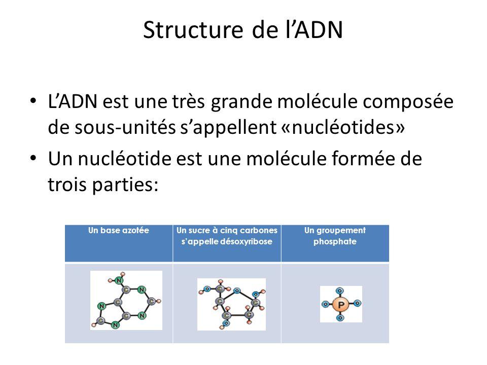 Structure de lADN LADN est une très grande molécule composée de sous-unités sappellent «nucléotides» Un nucléotide est une molécule formée de trois pa