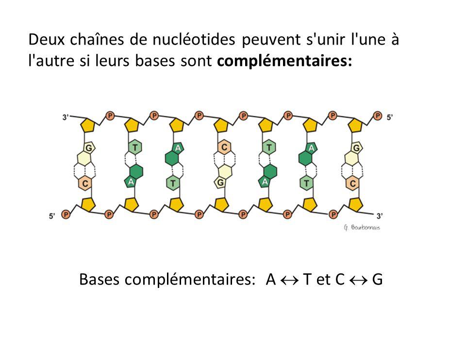 Deux chaînes de nucléotides peuvent s'unir l'une à l'autre si leurs bases sont complémentaires: Bases complémentaires: A T et C G