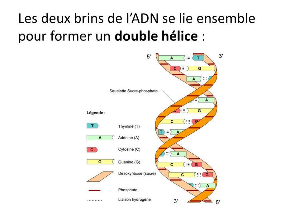 Les deux brins de lADN se lie ensemble pour former un double hélice :