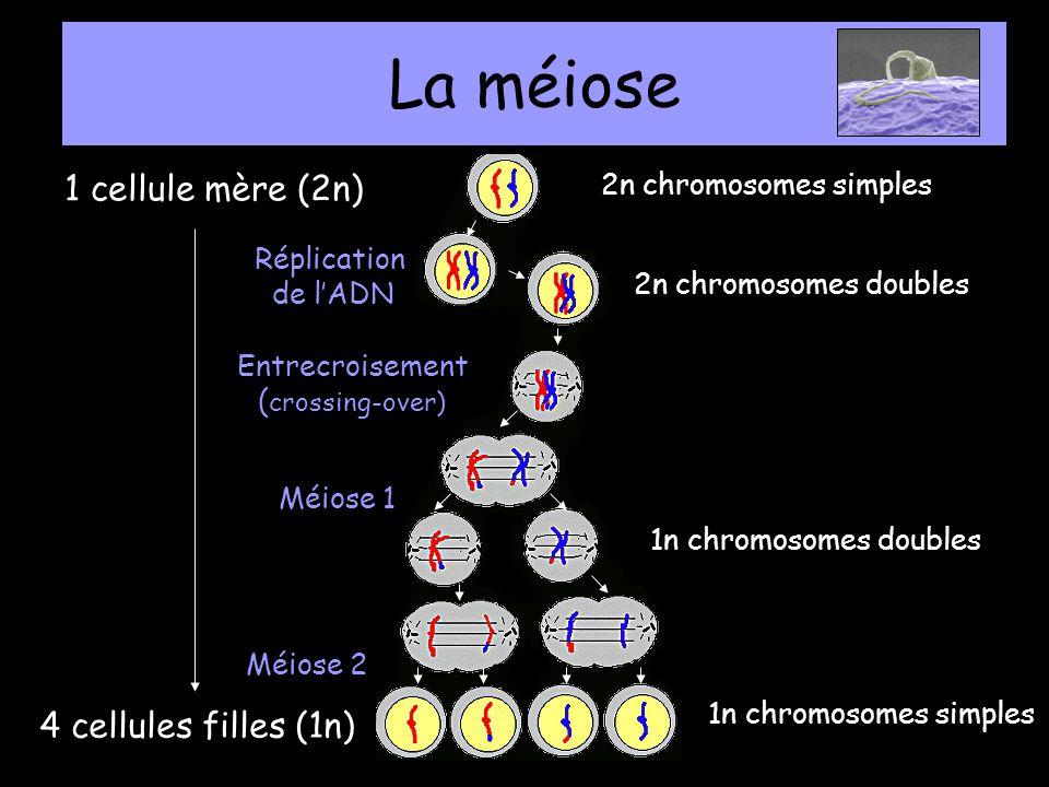 1 cellule mère (2n) 4 cellules filles (1n) La méiose 1n chromosomes simples Entrecroisement ( crossing-over) Méiose 1 Méiose 2 Réplication de lADN 2n