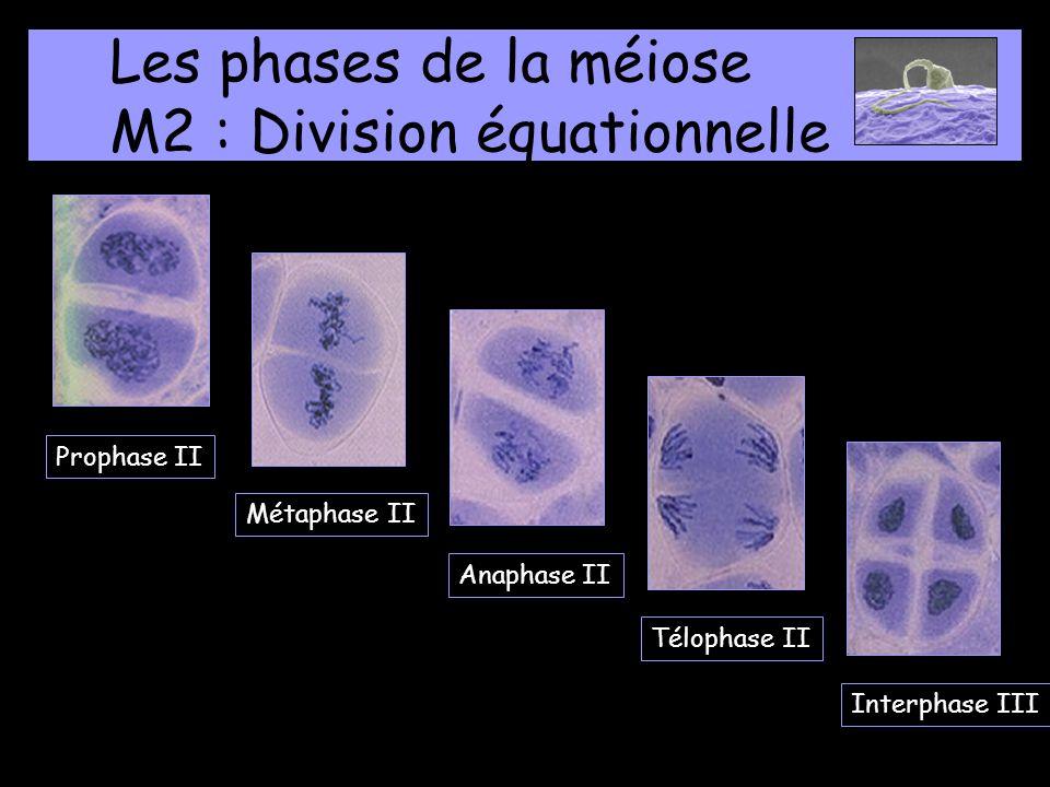 Les phases de la méiose M2 : Division équationnelle Prophase II Métaphase II Anaphase II Télophase IIInterphase III