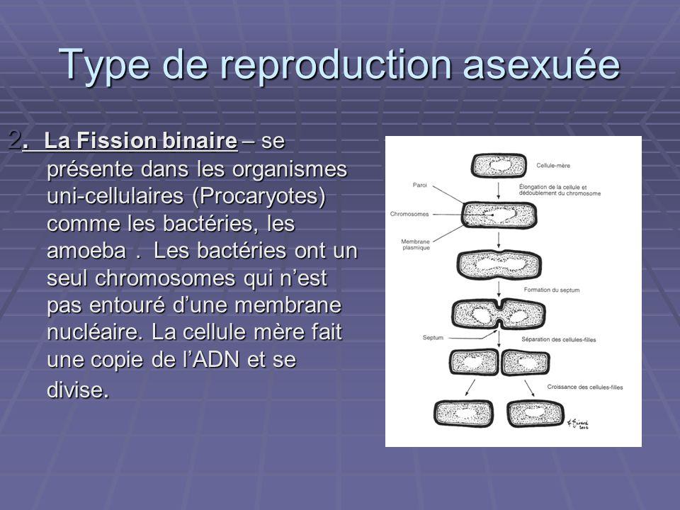 Type de reproduction asexuée 2. La Fission binaire – se présente dans les organismes uni-cellulaires (Procaryotes) comme les bactéries, les amoeba. Le