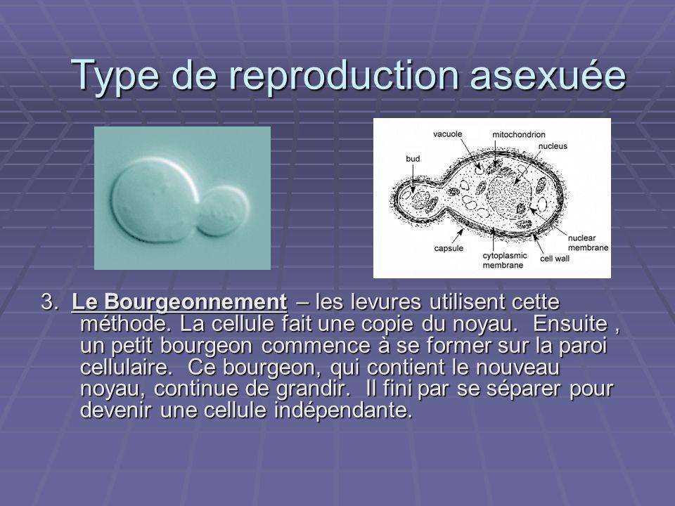 3. Le Bourgeonnement – les levures utilisent cette méthode. La cellule fait une copie du noyau. Ensuite, un petit bourgeon commence à se former sur la
