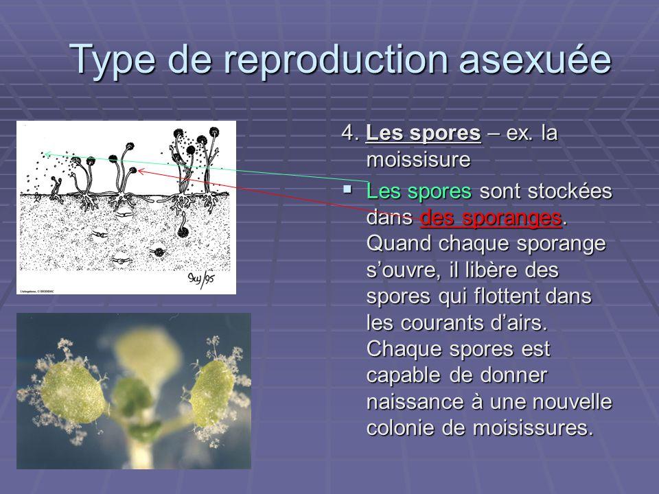 4. Les spores – ex. la moissisure Les spores sont stockées dans des sporanges. Quand chaque sporange souvre, il libère des spores qui flottent dans le
