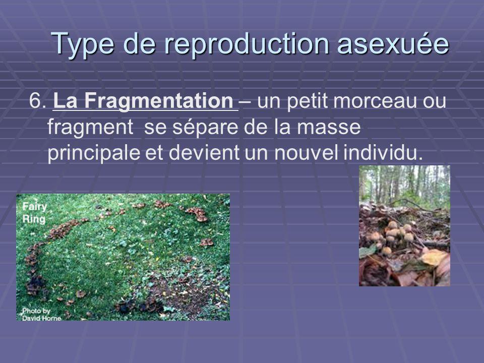 6. La Fragmentation – un petit morceau ou fragment se sépare de la masse principale et devient un nouvel individu. Type de reproduction asexuée