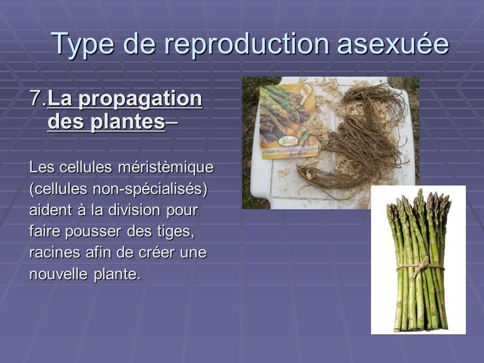 7.La propagation des plantes– Les cellules méristèmique (cellules non-spécialisés) aident à la division pour faire pousser des tiges, racines afin de créer une nouvelle plante.
