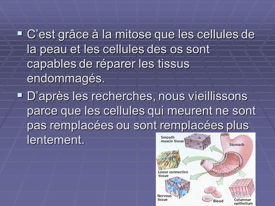 Cest grâce à la mitose que les cellules de la peau et les cellules des os sont capables de réparer les tissus endommagés. Cest grâce à la mitose que l