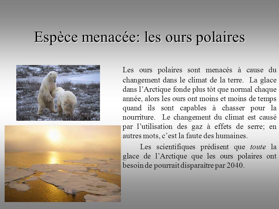 Espèce menacée: les ours polaires Les ours polaires sont menacés à cause du changement dans le climat de la terre. La glace dans lArctique fonde plus