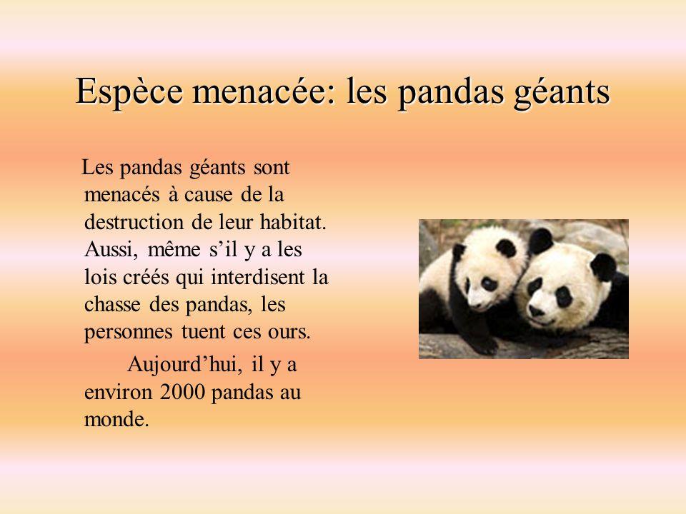 Espèce menacée: les pandas géants Les pandas géants sont menacés à cause de la destruction de leur habitat. Aussi, même sil y a les lois créés qui int