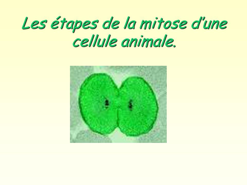 Les étapes de la mitose dune cellule animale.