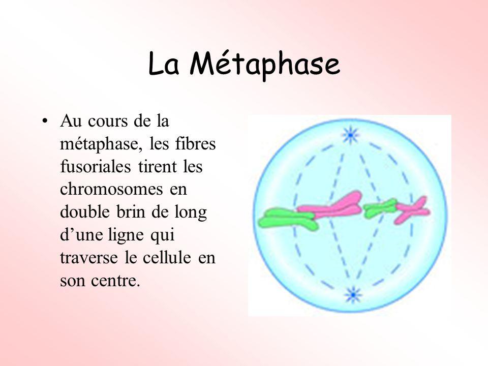 La Métaphase Au cours de la métaphase, les fibres fusoriales tirent les chromosomes en double brin de long dune ligne qui traverse le cellule en son centre.