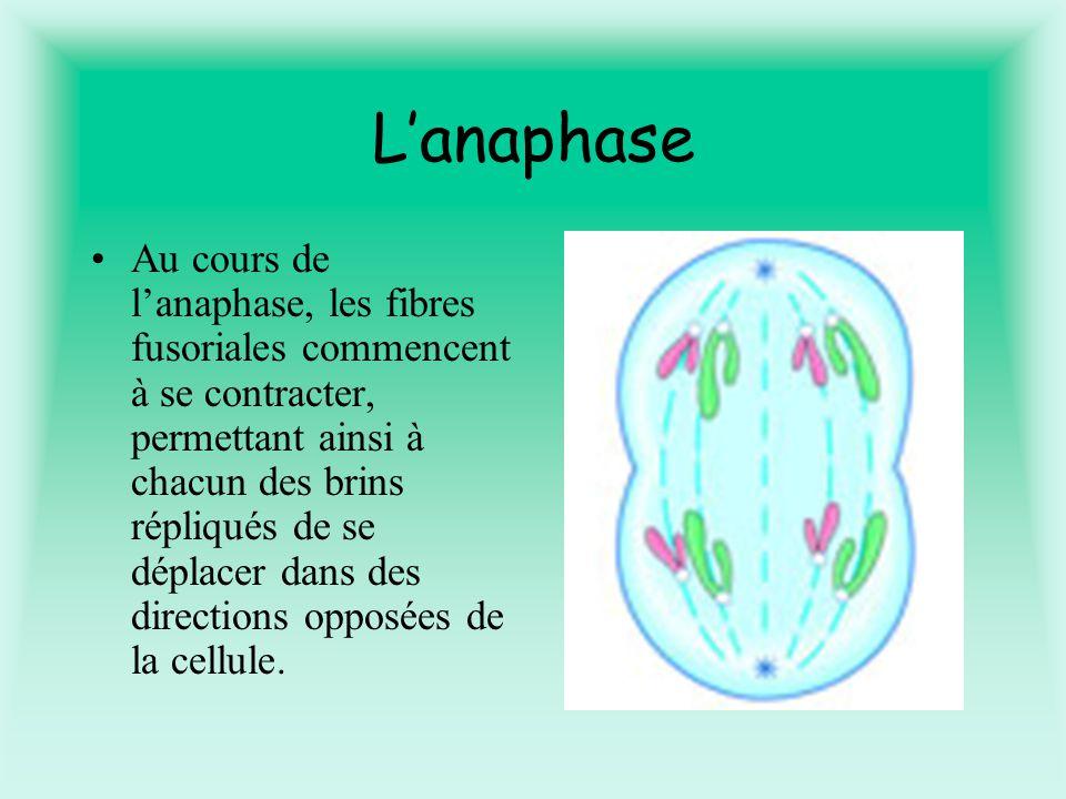 Lanaphase Au cours de lanaphase, les fibres fusoriales commencent à se contracter, permettant ainsi à chacun des brins répliqués de se déplacer dans des directions opposées de la cellule.