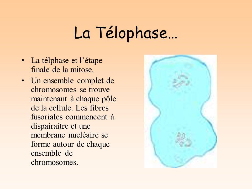 La Télophase… La télphase et létape finale de la mitose.