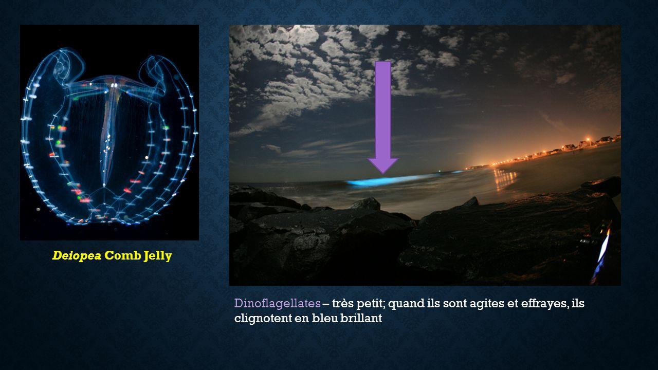 Deiopea Comb Jelly Dinoflagellates – très petit; quand ils sont agites et effrayes, ils clignotent en bleu brillant