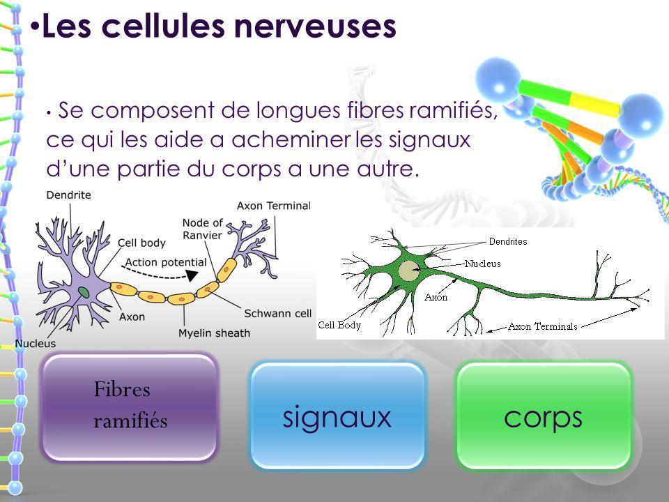 Se composent de longues fibres ramifiés, ce qui les aide a acheminer les signaux dune partie du corps a une autre. Les cellules nerveuses signauxcorps