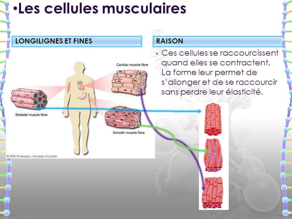 Ces cellules se raccourcissent quand elles se contractent. La forme leur permet de sallonger et de se raccourcir sans perdre leur élasticité. Les cell