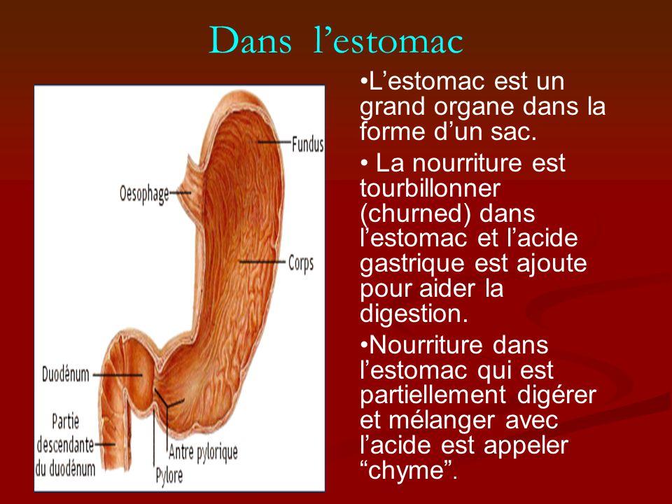 Dans lestomac Lestomac est un grand organe dans la forme dun sac.