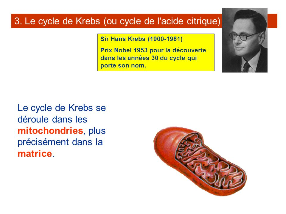 3. Le cycle de Krebs (ou cycle de l'acide citrique) Le cycle de Krebs se déroule dans les mitochondries, plus précisément dans la matrice. Sir Hans Kr