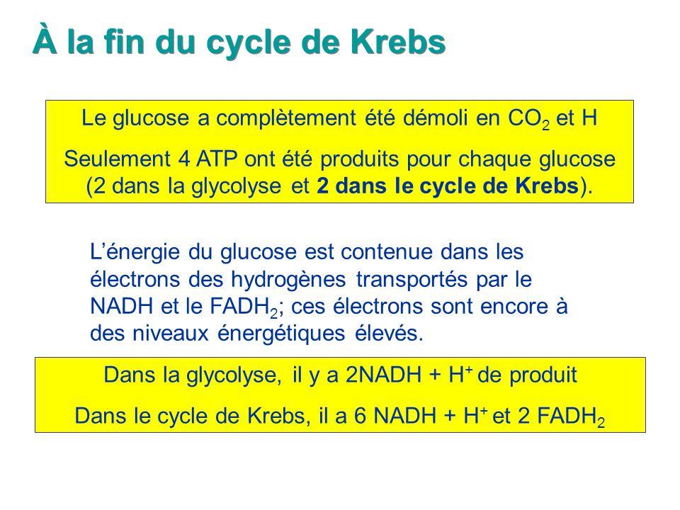 À la fin du cycle de Krebs Le glucose a complètement été démoli en CO 2 et H Seulement 4 ATP ont été produits pour chaque glucose (2 dans la glycolyse