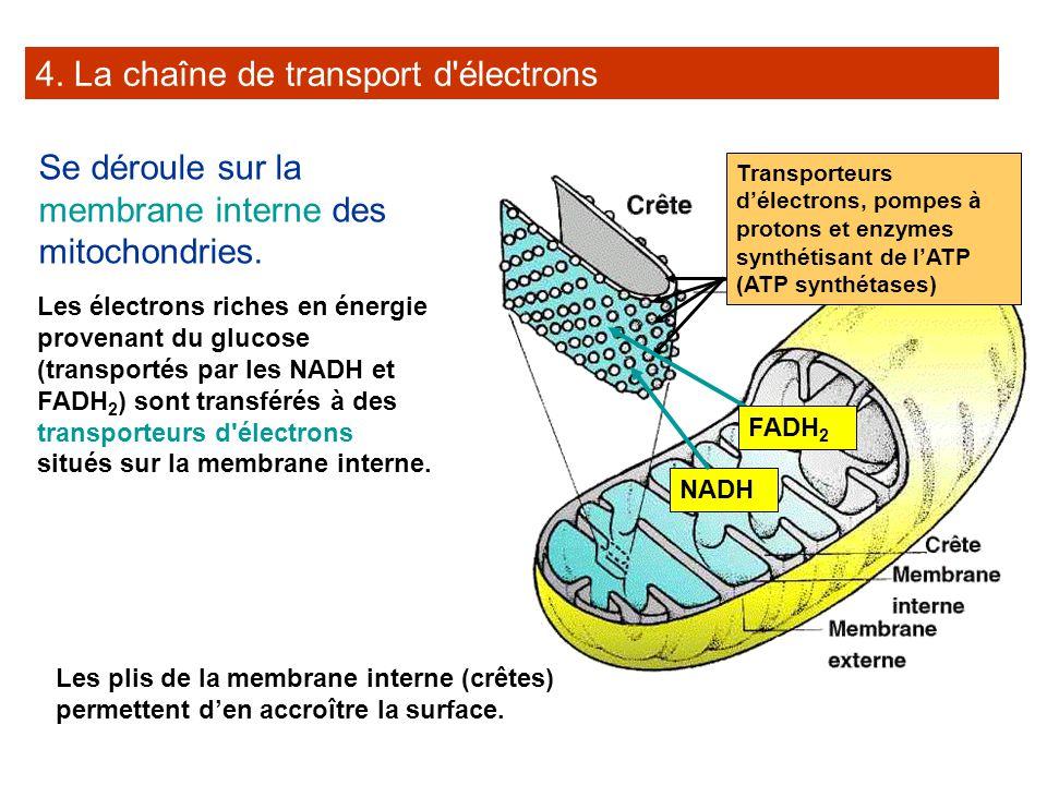4. La chaîne de transport d'électrons Se déroule sur la membrane interne des mitochondries. Les électrons riches en énergie provenant du glucose (tran