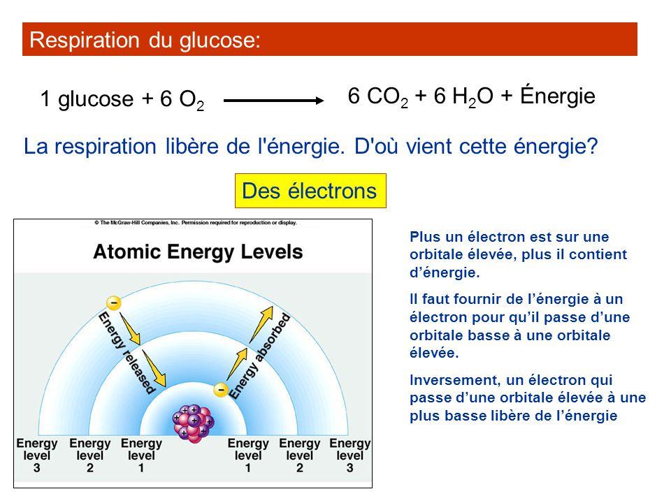 La respiration libère de l'énergie. D'où vient cette énergie? Respiration du glucose: 1 glucose + 6 O 2 6 CO 2 + 6 H 2 O + Énergie Des électrons Plus