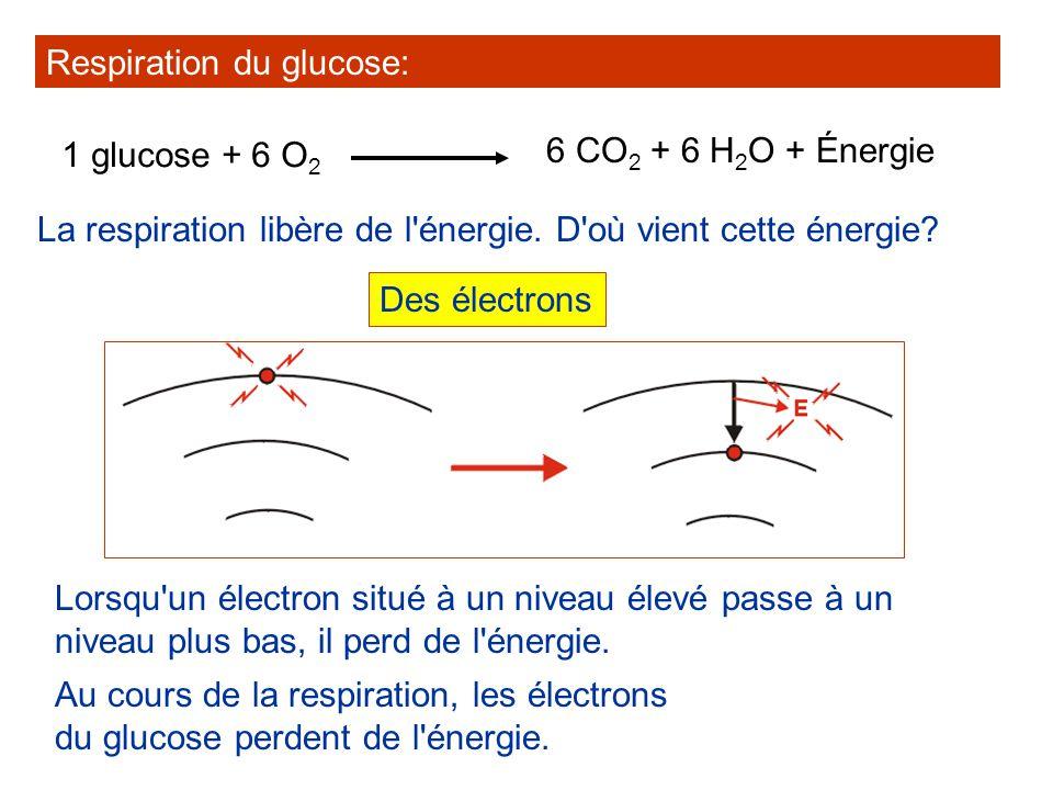La respiration libère de l'énergie. D'où vient cette énergie? Respiration du glucose: 1 glucose + 6 O 2 6 CO 2 + 6 H 2 O + Énergie Des électrons Lorsq
