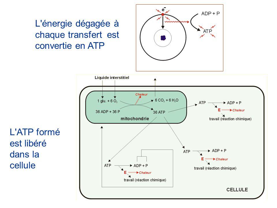L'énergie dégagée à chaque transfert est convertie en ATP L'ATP formé est libéré dans la cellule
