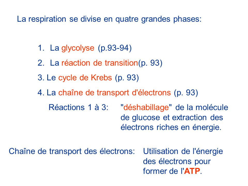 La respiration se divise en quatre grandes phases: 1.La glycolyse (p.93-94) 2.La réaction de transition(p. 93) 3. Le cycle de Krebs (p. 93) 4. La chaî