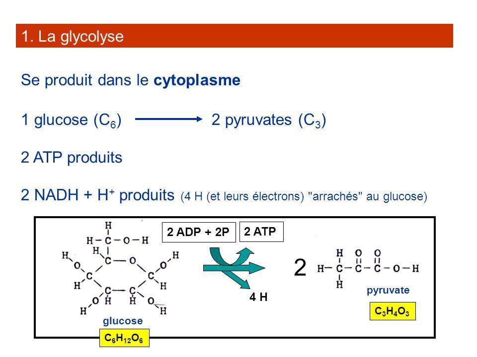 1. La glycolyse Se produit dans le cytoplasme 1 glucose (C 6 )2 pyruvates (C 3 ) 2 ATP produits 2 NADH + H + produits (4 H (et leurs électrons)