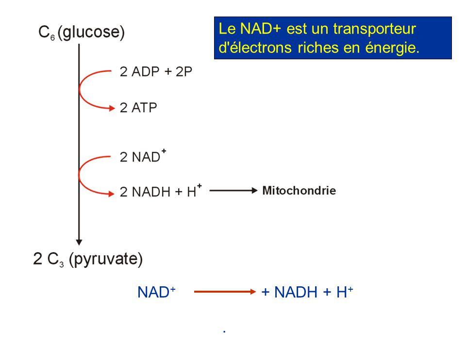 . NAD + + NADH + H + Le NAD+ est un transporteur d'électrons riches en énergie.