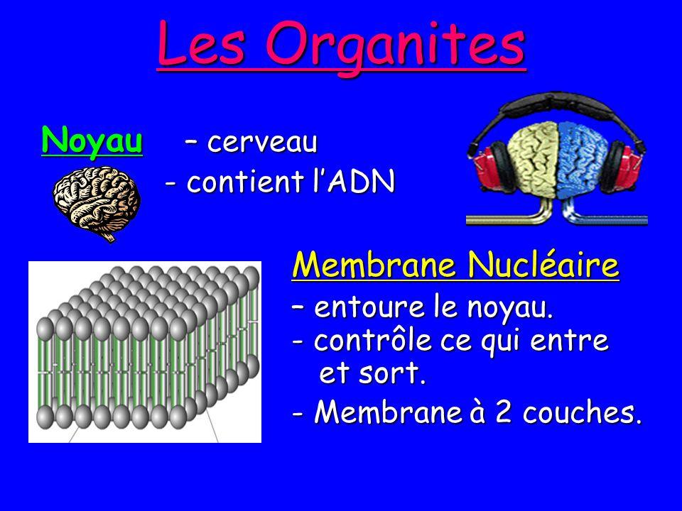 Les Organites Noyau – cerveau - contient lADN - contient lADN Membrane Nucléaire Membrane Nucléaire – entoure le noyau. - contrôle ce qui entre et sor
