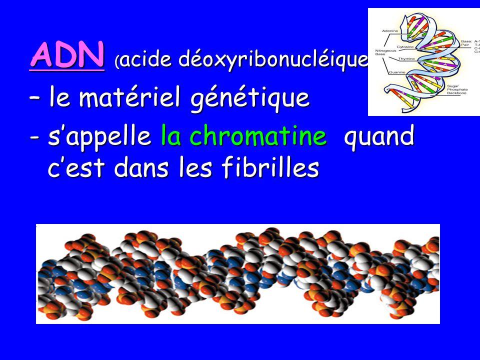 ADN ( acide déoxyribonucléique ) – le matériel génétique - sappelle la chromatine quand cest dans les fibrilles