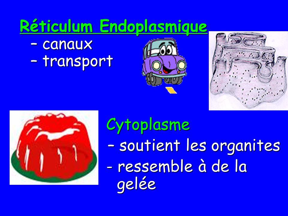 Réticulum Endoplasmique – canaux – transport Cytoplasme – soutient les organites - ressemble à de la gelée - ressemble à de la gelée